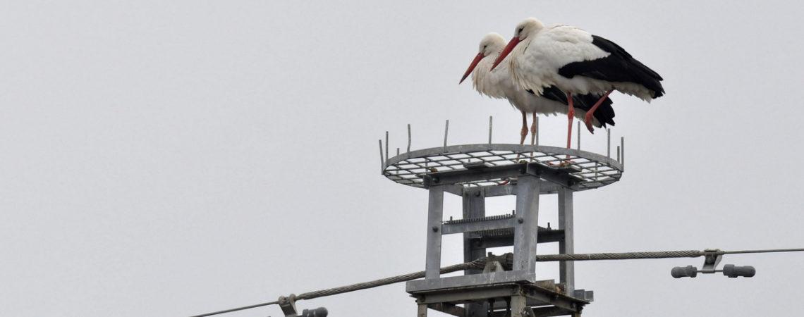 I nuovi nidi di Terna per le cicogne